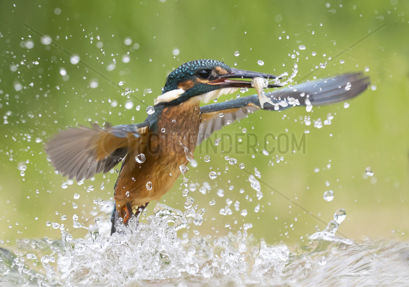 Kingfisher (Alcedo atthis) fishing,  England