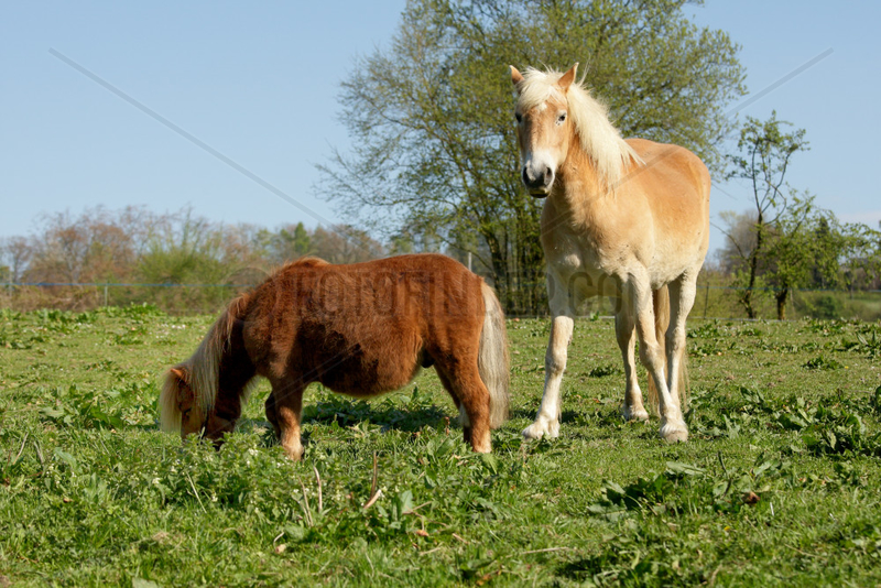Shetland pony and Haflinger poney in the meadow