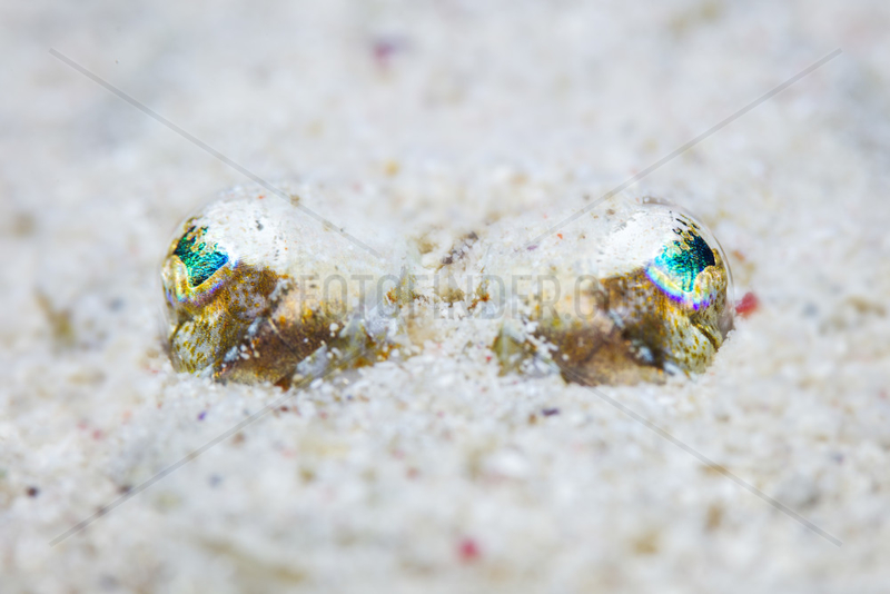 Broadhead flathead (Sunagocia arenicola) buried in sand,  Mayotte