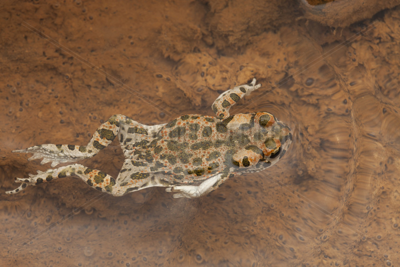 African Green Toad (Bufotes boulengeri) swimming,  South West,  Morocco