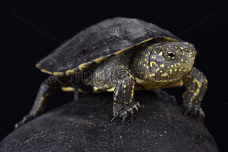 Italian pond turtle (Emys orbicularis galloitalica),  Italy