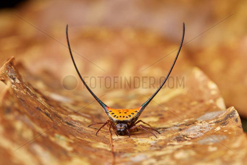 Long-horned Orb-weaver Spider (Macracantha arcuata),  Malaysia peninsula