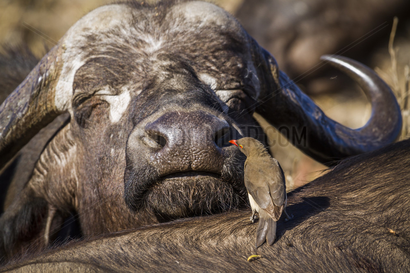 African buffalo (Syncerus caffer) and Red-billed Oxpecker (Buphagus erythrorhynchus),  Kruger National park,  South Africa