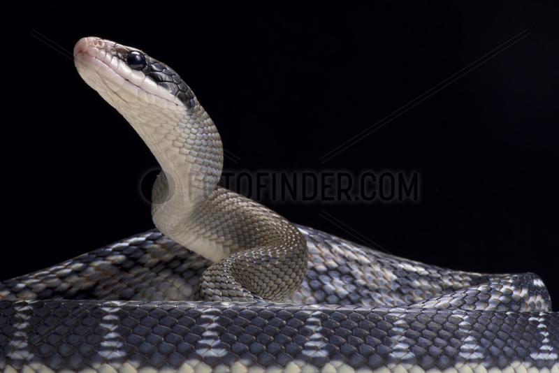 Blue beauty rat snake (Orthriophis taeniurus) on black background