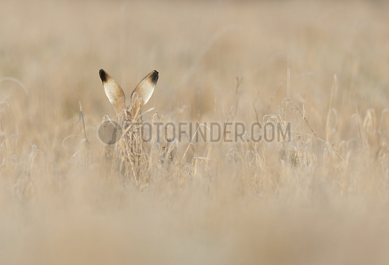 Brown hare (Lepus europaeus) Hare amongst Frozen grass,  Aston Clinton,  England,  Winter