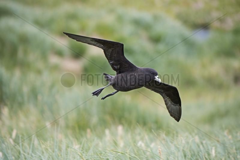 White-chinned Petrel over breeding colony - South Georgia