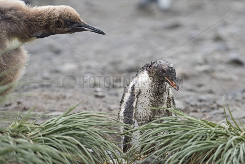Young Gentoo Penguin and young Royal Penguin - South Georgia