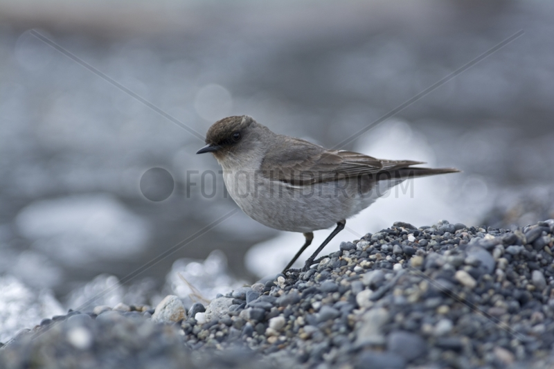 Dark-faced Ground-Tyrant - Torres del Paine Patagonia Chile