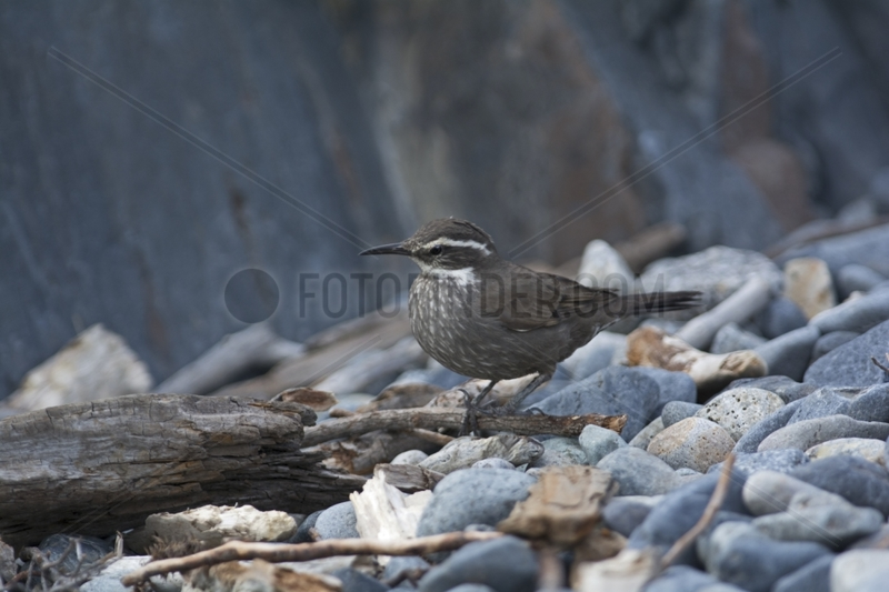 Dark-bellied Cinclodes - Torres del Paine Patagonia Chile