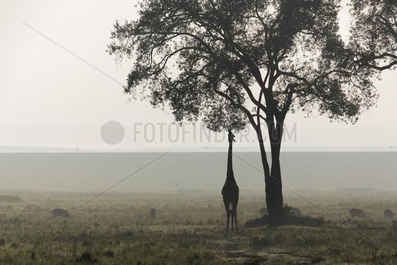 Silhouette of a Giraffe (Giraffa camelopardalis) in the bush misty,  Kenya