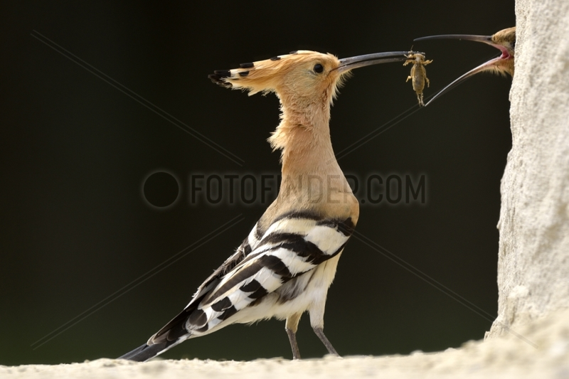 Hoopoe male offering an offering - Hungary