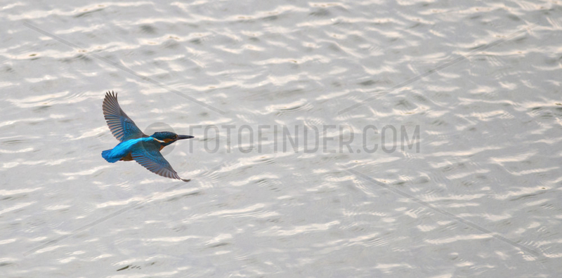 Common Kingfisher (Alcedo atthis) in flight above the water,  Regional Natural Park of the Vosges du Nord,  France