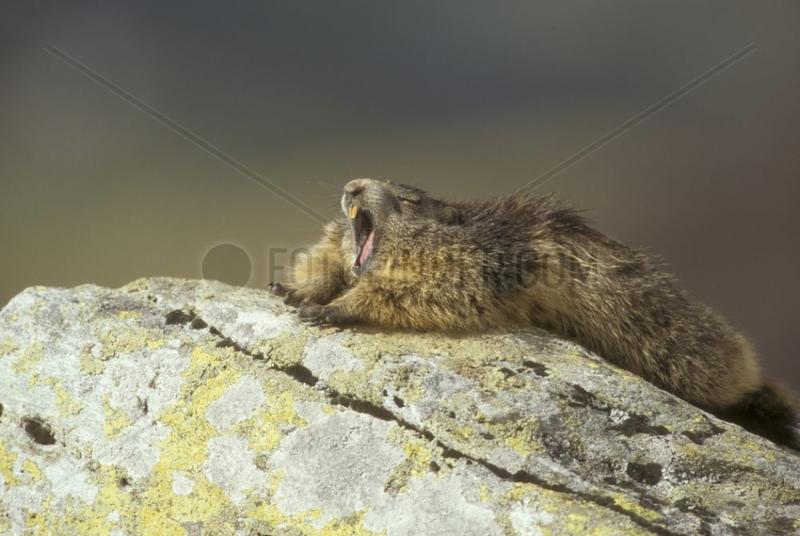Alpine marmot stretching and yawning Vanoise NP France