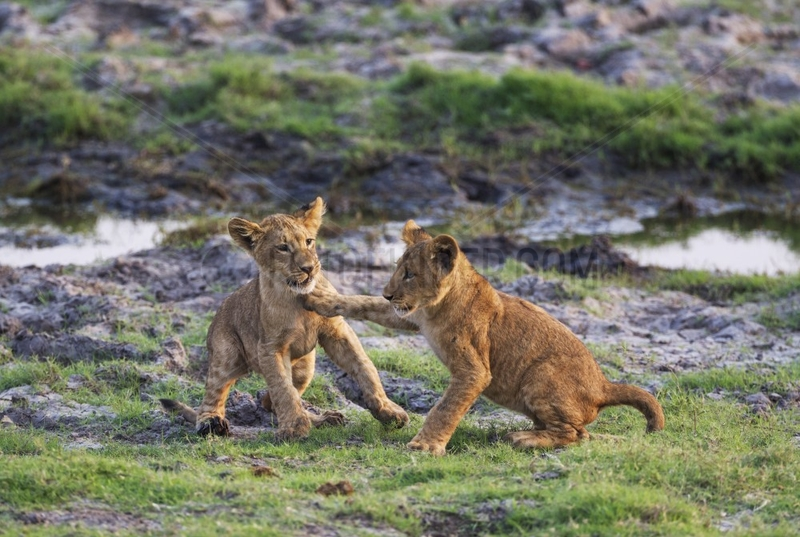 Lion (Panthera leo) - Two playful cubs in the early morning. Chobe National Park,  Botswana.