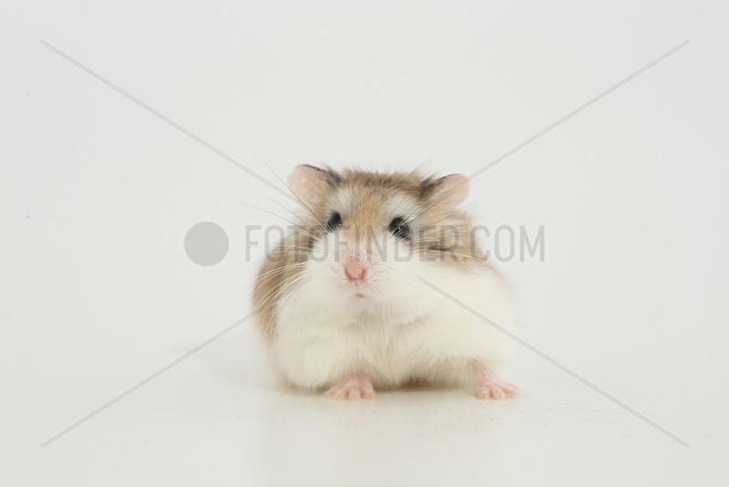 Desert Hamster (Phodopus roborovskii) facing in white background
