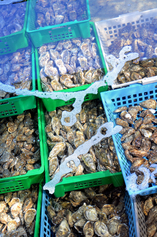 Maturing of oysters of Marennes d'Oleron - France