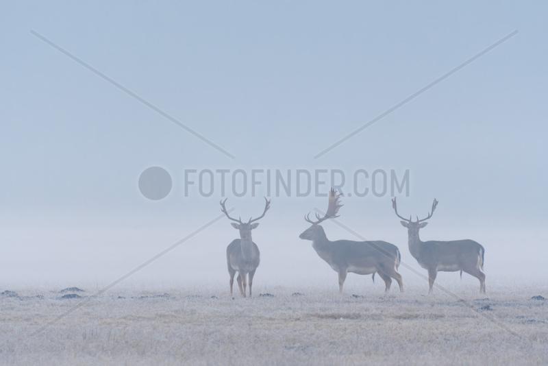 Fallow Deers (Cervus dama) on misty morning,  Hesse,  Germany,  Europe