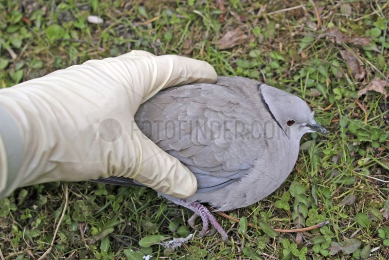 Collecting of a sick Dove with protective glove France