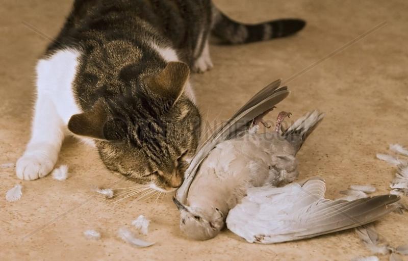 Chat européen mangeant une Tourterelle capturée