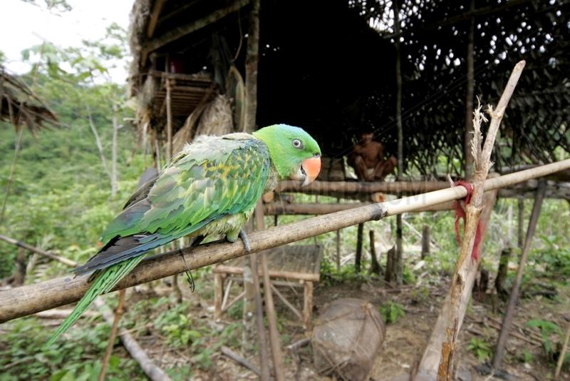 Parrot tamed Tau't Batu Palawan Philippines