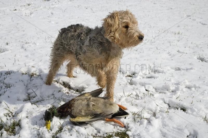 Chien croisé s'amusant avec un Canard colvert trouvé mort