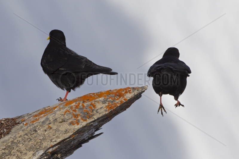 Alpine Chough jumping from a rock Swiss Alps