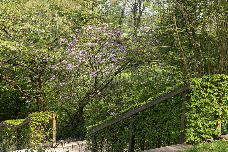Magnolia liliflora 'Susan' in bloom,  spring,  Somme,  France