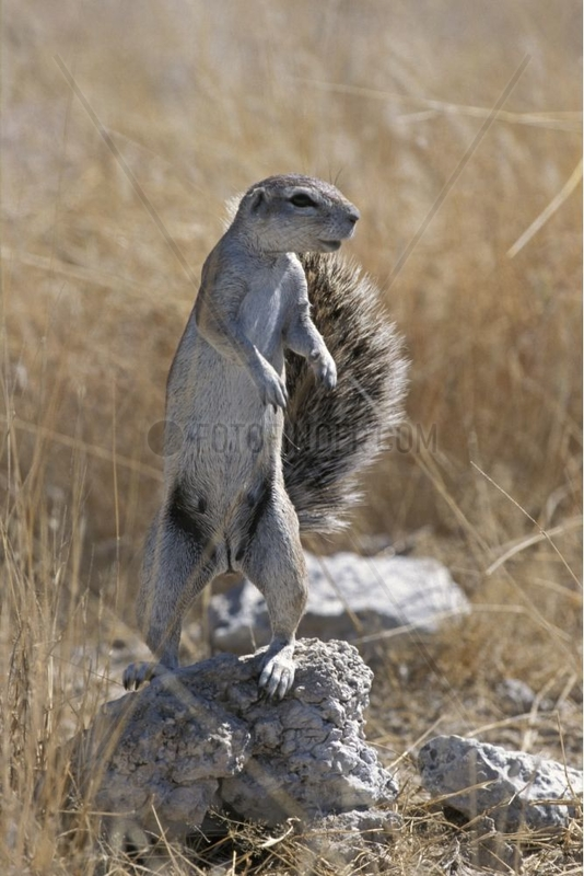 Ground squirrel stand up on its back legs Namibia