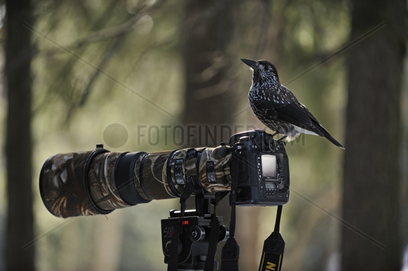 Spotted Nutcracker on a camera Valais Switzerland