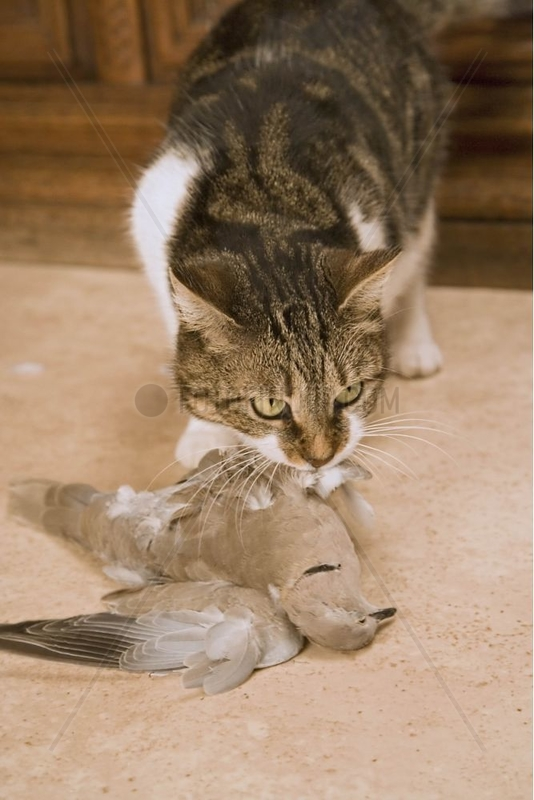 Chat européen mangeant une Tourterelle turque capturée