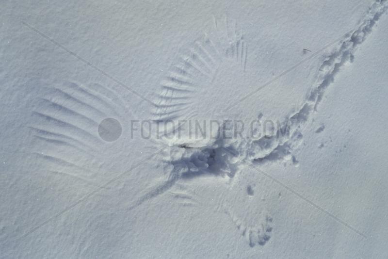 Trace de prédation d'un rapace sur une souris dans la neige