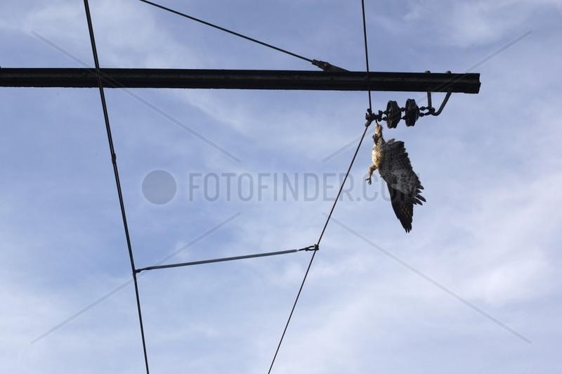 Rapace avec sa patte coincée dans un cable SNCF Lozère