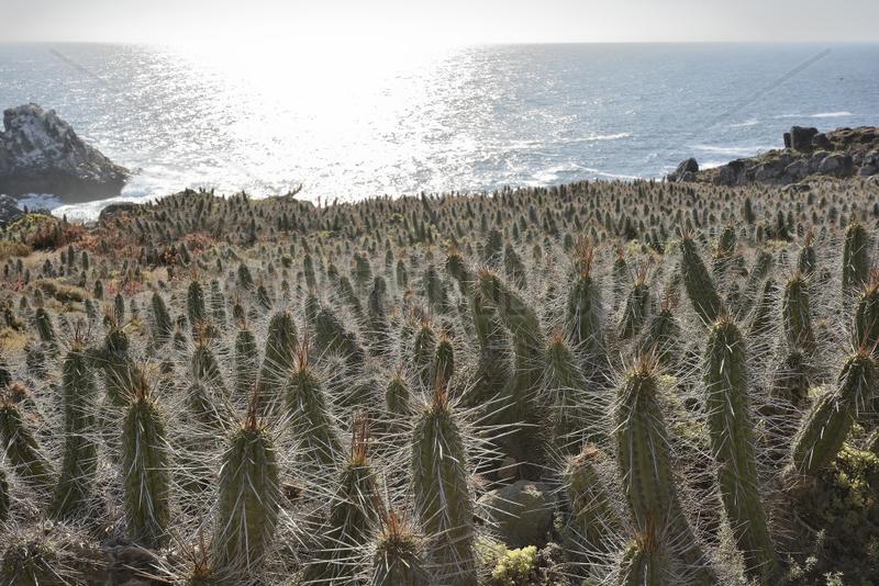 Copao de Philippi (Eulychnia castanea),  endemic to Chile,  Puquen Nature Reserve,  Los Molles,  La Ligua,  V Valparaiso Region,  Chile