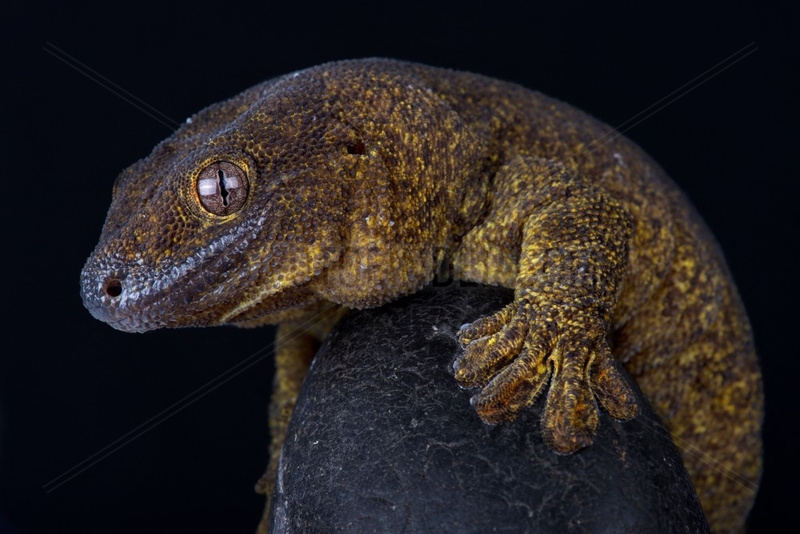 The Giant bronze gecko (Ailuronyx trachygaster) is a enigmatic species rarely seen due to its preference for remaining high above the ground,  and also because of its sandy-bronze colouration,  which camouflages it against the stems and branches of its preferred tree,  the coco-de-mer palm (Lodoicea maldivica) endemic to the Seychelles islands. Its area of occupancy is 13 km² and it is known from only two locations.