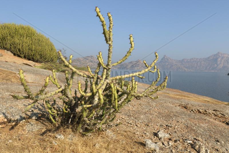 Thor Danda (Euphorbia caducifolia),  Jawaï Dam Reservoir,  Rajasthan,  India