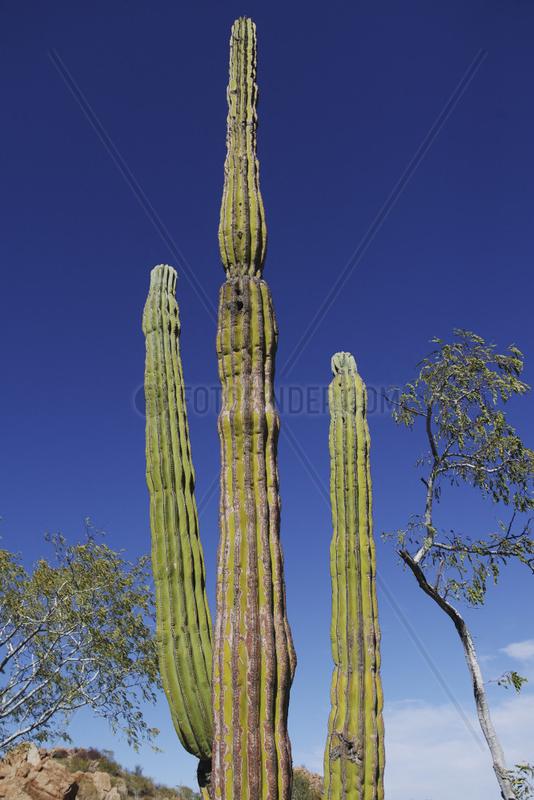 cacti in semi desert landscape,  Sierra San Francisco,  Baja California Sur,  Mexico