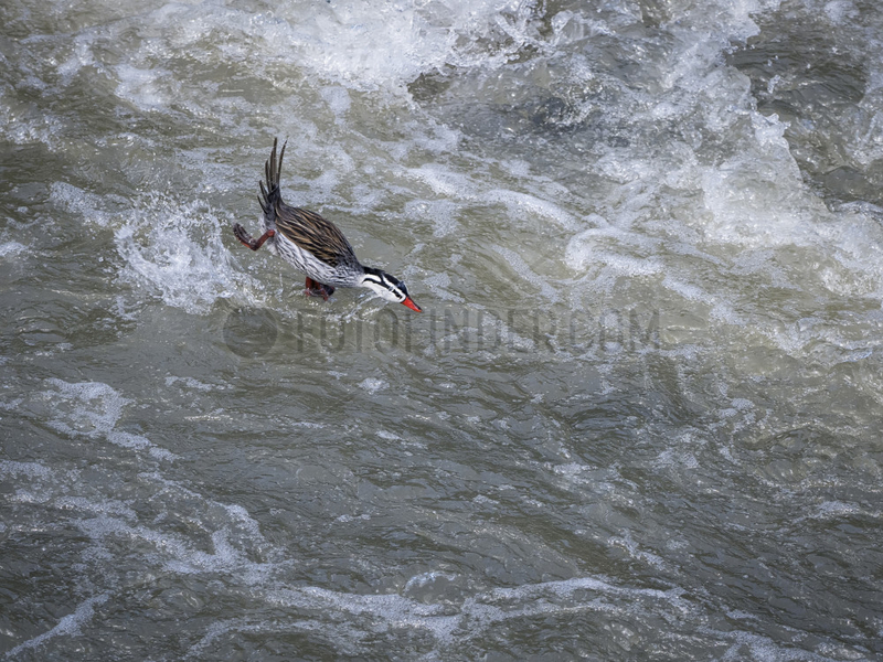 Torrent duck (Merganetta armata),  male diving into fast-flowing stream,  near Manizales,  Colombia