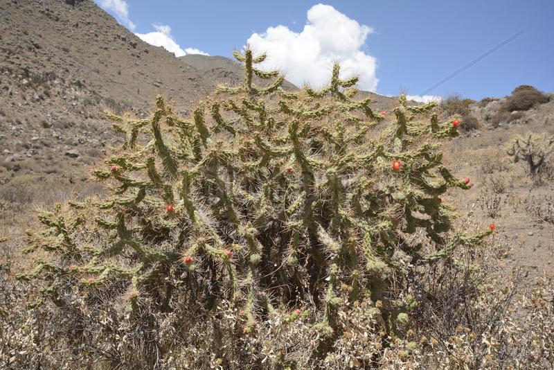 Cactus (Austrocylindropuntia subulata ssp. Exalta),  Colca Canyon,  Arequipa Region,  Peru