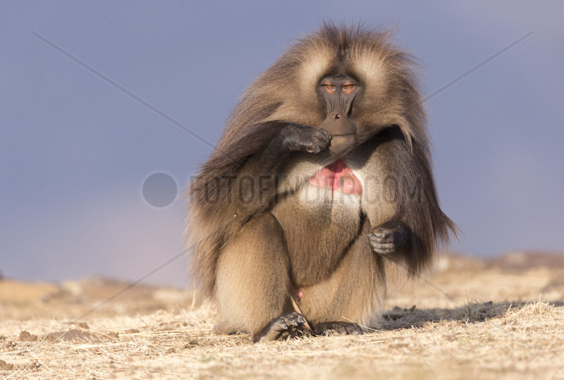 Gelada or Gelada baboon (Theropithecus gelada),  dominant male,  Debre Libanos,  Rift Valley,  Ethiopia,  Africa