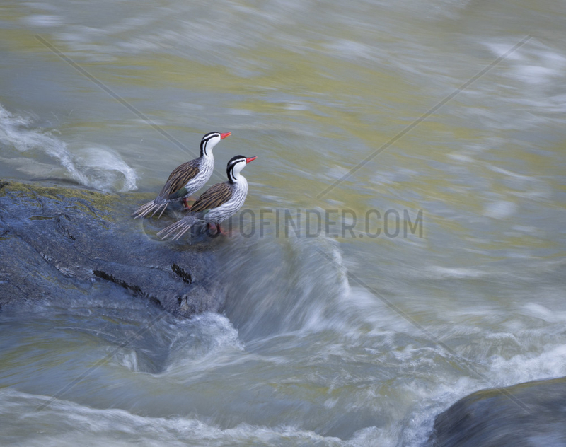 Torrent ducks (Merganetta armata),  two males on fast-flowing river,  Cauca Valley,  Colombia