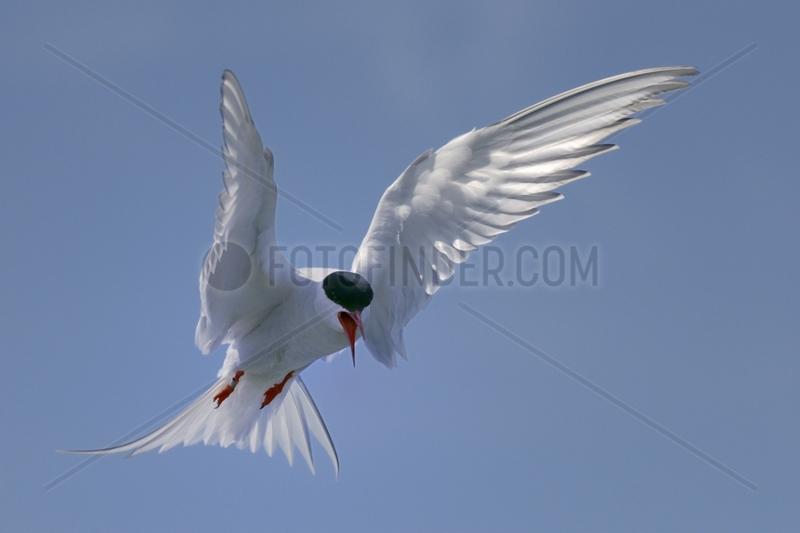 Arctic tern hovering - Farne Islands England UK