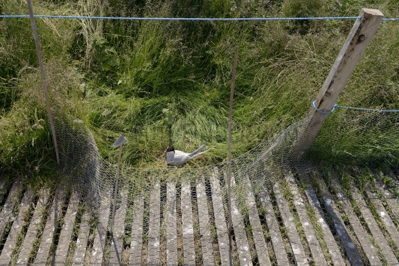 Arctic tern nesting roadside - Farne Islands UK