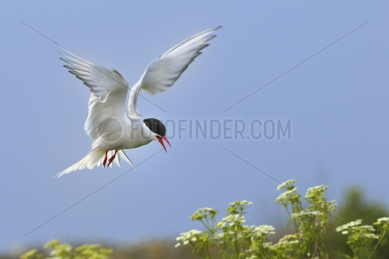 Arctic tern in flight back to the nest - Farne Islands UK
