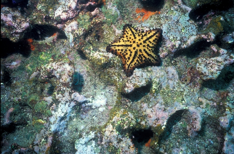 Chocolate-chip sea star on a coral reef Galapagos