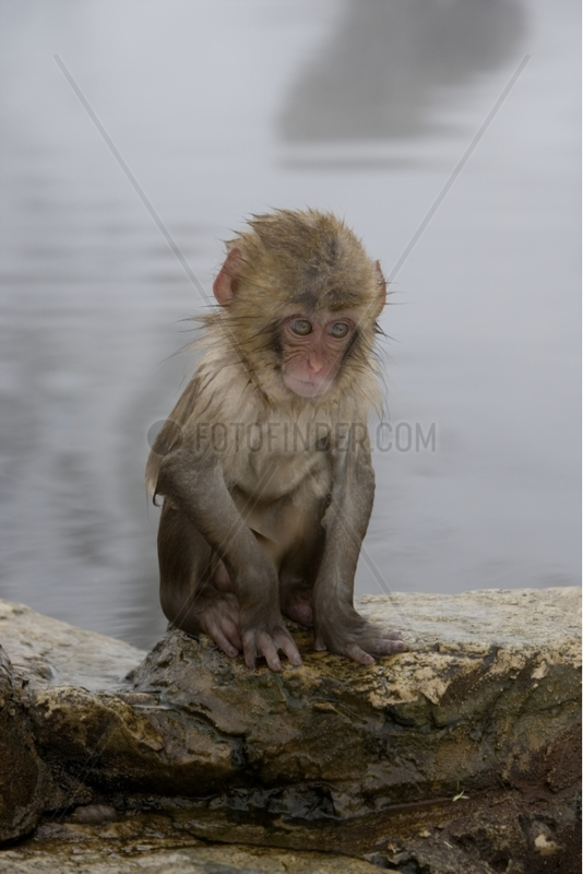 Young Japanese Macaque near by a warm spring Japan