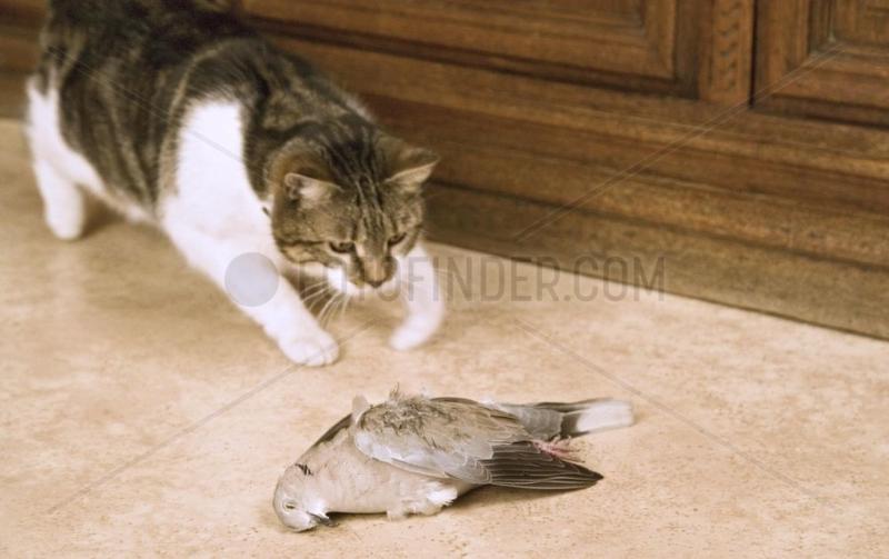 Chat européen s'apprêtant à manger une Tourterelle capturée