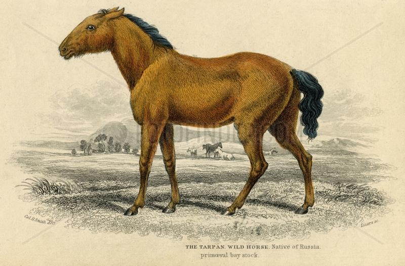 Illustration of tarpan