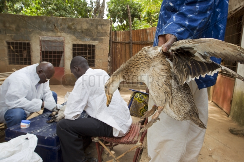Research on avian influenza in a backyard Mali