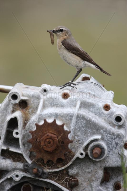 Northern wheatear female feeding on grinder Scotland UK