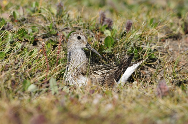 Dunlin nesting in the Tundra Scoresby Sund Greenland